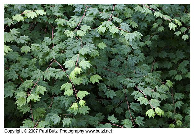 """Acer circinatum """"Vine Maple"""" - in therain"""